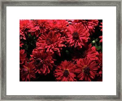 Bright Red Mums Framed Print by Scott Hovind