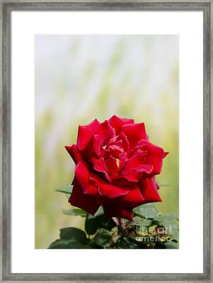 Bright Red Rose Framed Print by Perry Van Munster
