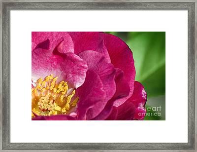 Bright Rose Bloom Framed Print