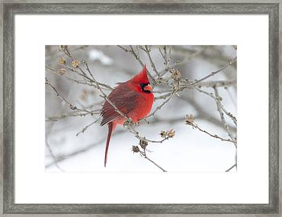 Bright Splash Of Red On A Snowy Day Framed Print by Skip Tribby