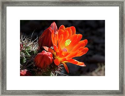 Bright Tangerine Cactus Flower Framed Print by Phyllis Denton