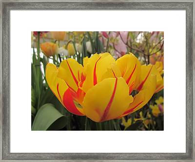 Bright Tulip Framed Print