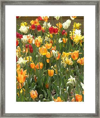 Framed Print featuring the photograph Bright Tulips by Michael Flood