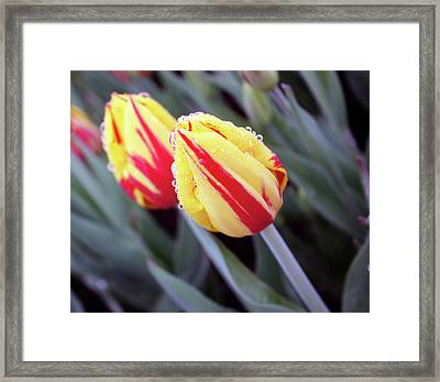 Bright Yellow And Red Tulips Framed Print by Kami McKeon