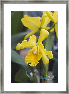 Bright Yellow Cattleya Orchid Framed Print by Allan Seiden - Printscapes