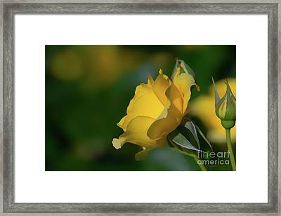 Bright Yellow Walking On Sunshine Rose Framed Print
