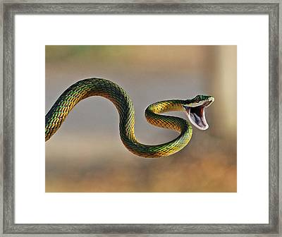 Brightly Coloured Parrot Snake Framed Print