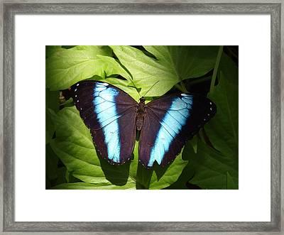 Brillant Blue Butterfly Framed Print by Nicole I Hamilton