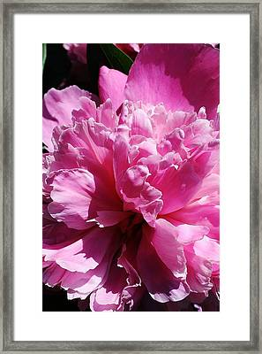 Brillant Pink Peony Framed Print by Bruce Bley