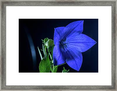 Brilliant Blue Balloon Flower Framed Print by Douglas Barnett