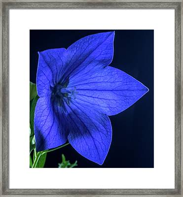 Brilliant Deep Blue Balloon Flower Framed Print by Douglas Barnett