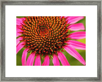 Brilliant Echinacea Framed Print by Jean Noren