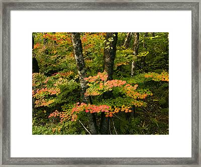 Brilliant Fall Vine Mapes Framed Print by Jean Noren