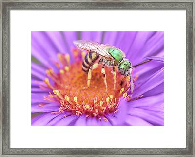 Brilliant Green Halactid Bee  On Aster Framed Print