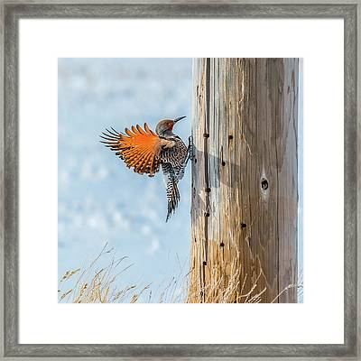 Brilliant Northern Flicker Woodpecker Framed Print