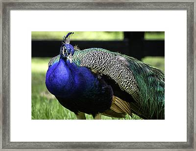 Brilliant Peacock Framed Print by Tish Hopkins