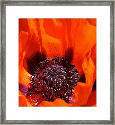 Brilliant Poppy Framed Print by Bruce Bley