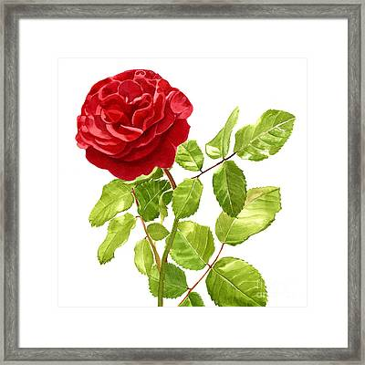 Brilliant Red Rose On A Stem Square Design Framed Print