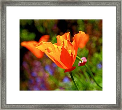 Brilliant Spring Poppies Framed Print by Rona Black