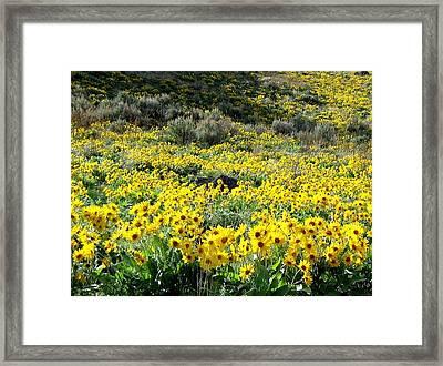 Brilliant Wild Sunflowers Framed Print