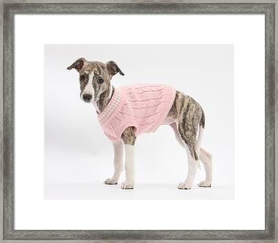 Brindle-and-white Whippet Pup Framed Print