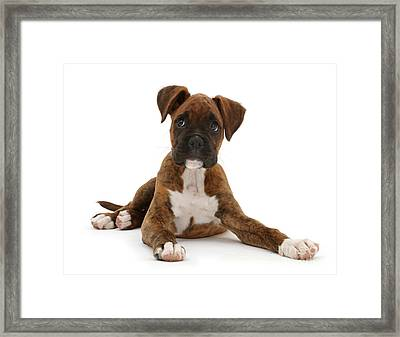 Brindle Boxer Puppy Framed Print
