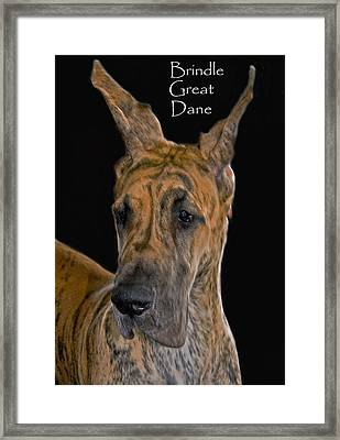 Brindle Great Dane Framed Print by Larry Linton