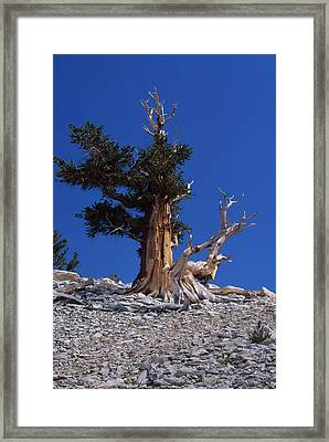Bristlecone Pine - Patriarch Grove Framed Print by Soli Deo Gloria Wilderness And Wildlife Photography