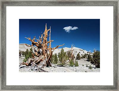 Bristlecone Pine - Pinus Longaeva Framed Print