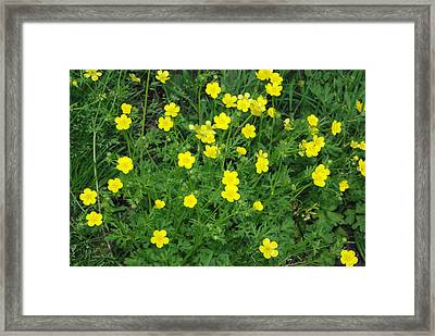 Bristly Buttercup Framed Print by Robyn Stacey