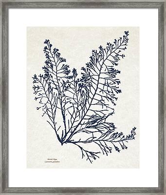 British Algae Cystoseira Granulata Framed Print by Christina Rollo