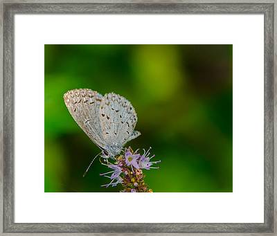 British Butterfly Or Little Blue Framed Print