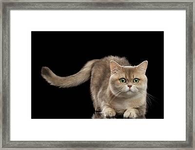 Brittish Cat With Curve Tail On Black Framed Print by Sergey Taran