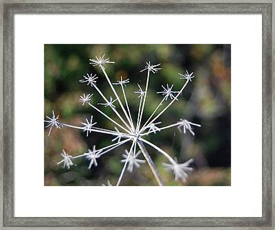 Brittle Stars Framed Print by Jean Booth