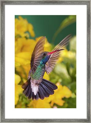 Broad-bill Pose Framed Print