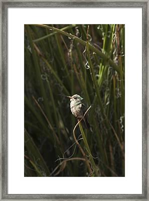 Framed Print featuring the photograph Broad Billed Humming Bird Fem by Daniel Hebard