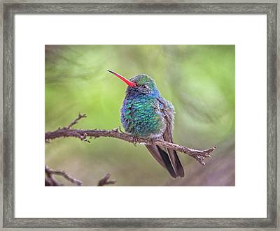 Broad-billed Hummingbird 3652 Framed Print