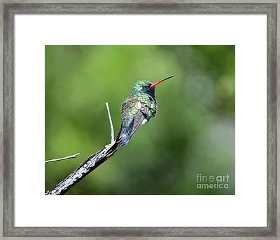 Broad-billed Hummingbird Framed Print