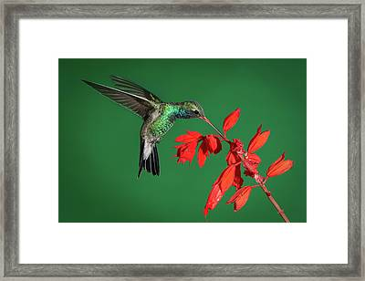 Broad-billed Hummingbird  Framed Print