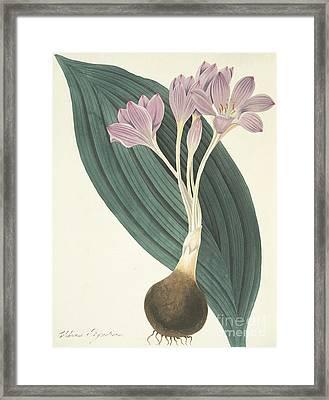 Broad-leaved Meadow Saffron Framed Print by Margaret Roscoe