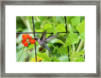 Broad-tailed Hummingbird 2 - Utah Framed Print