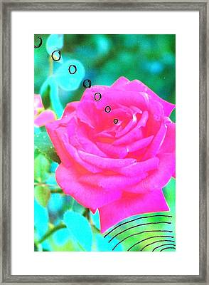 Broadcasting Rose Framed Print by Rod Ismay