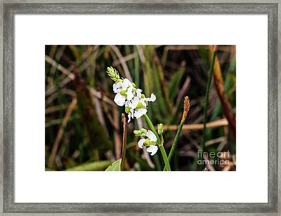 Broadleaf Arrowhead Framed Print