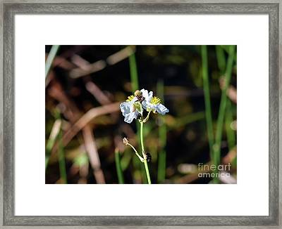 Broadleaf Arrowheads Framed Print