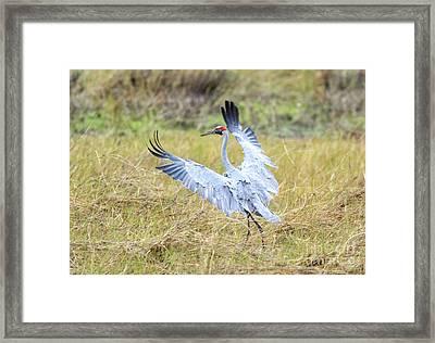 Brolga  Framed Print by Genevieve Vallee