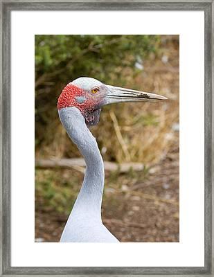 Brolga Profile Framed Print by Mike  Dawson