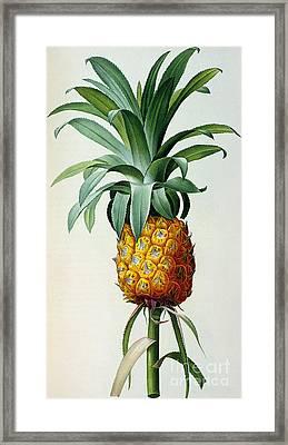 Bromelia Ananas, From 'les Bromeliacees' Framed Print