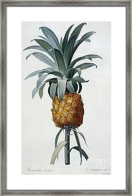 Bromelia Ananas Framed Print