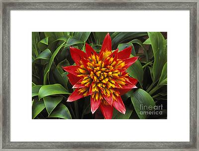 Bromeliad Blooming Framed Print by Peter French - Printscapes