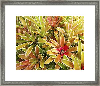 Bromeliad Brightness Framed Print by Ron Dahlquist - Printscapes